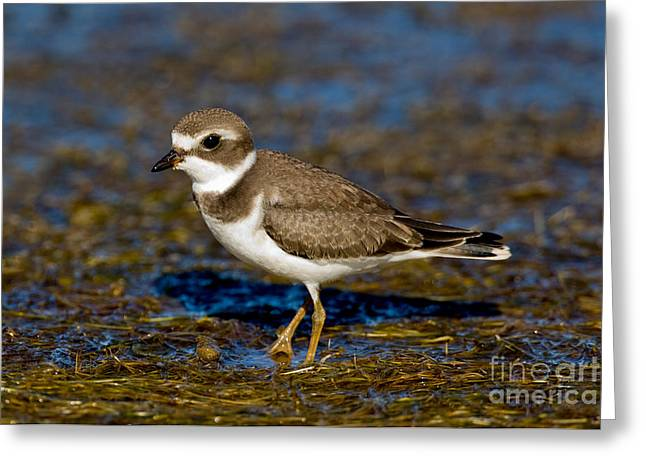 Us Wildllife Greeting Cards - Semipalmated Plover Greeting Card by Anthony Mercieca
