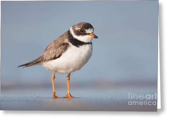 Lapwing Greeting Cards - Semipalmated Plover Greeting Card by Clarence Holmes