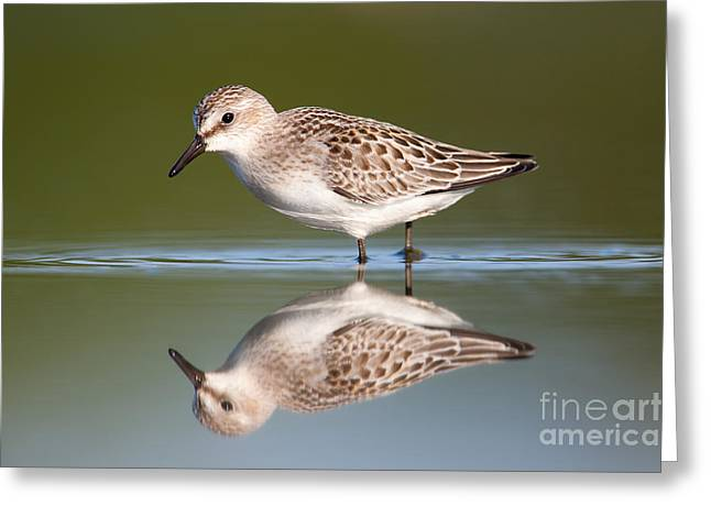 Wildlife Refuge. Greeting Cards - Semipalmated Sandpiper III Greeting Card by Clarence Holmes