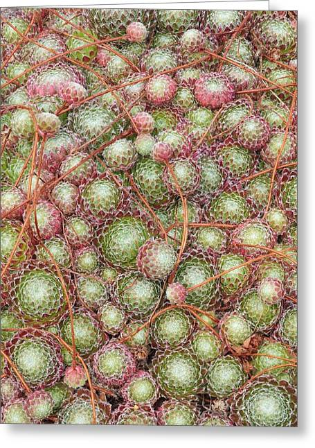 Burgundy Greeting Cards - Sempervivum ciliosum Greeting Card by Science Photo Library