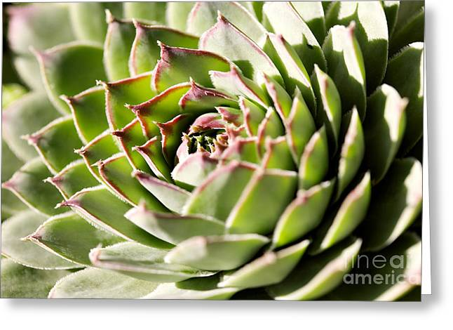 Rosette Greeting Cards - Sempervivum Giuseppii Greeting Card by Cheryl Power