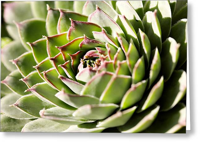 Sempervivum Greeting Cards - Sempervivum Giuseppii Greeting Card by Power And Syred