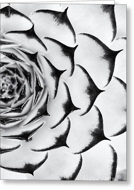 Ornamental Plants Greeting Cards - Sempervivum Pattern Monochrome Greeting Card by Tim Gainey