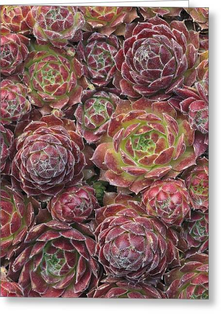 Rosette Greeting Cards - Sempervivum Rosie Greeting Card by Science Photo Library