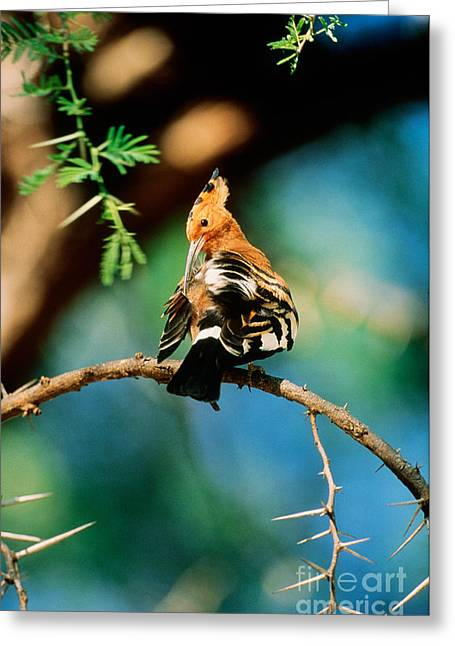 Senegal Greeting Cards - Senegal Hoopoe Greeting Card by Art Wolfe
