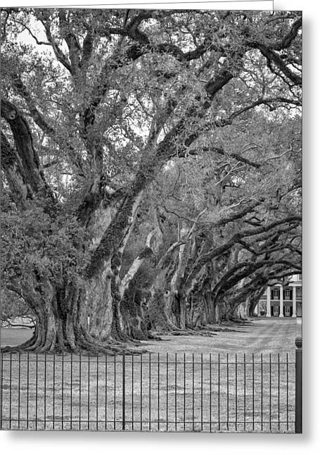Oak Alley Plantation Greeting Cards - Sentinels monochrome Greeting Card by Steve Harrington