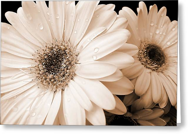 Closup Greeting Cards - Sepia Gerber Daisy Flowers Greeting Card by Jennie Marie Schell