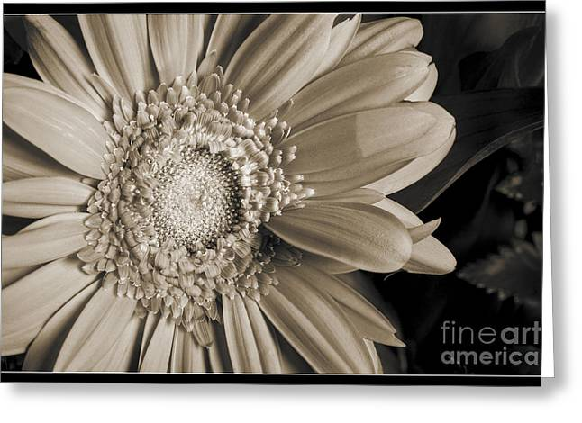 Daisy Framed Prints Greeting Cards - Sepia Tone Daisy 8043.01 Greeting Card by M K  Miller
