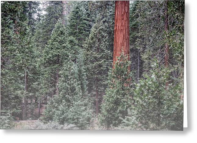Sequoia National Park Greeting Cards - Sequoia in Mist Greeting Card by Joseph Smith