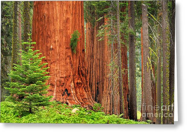 Conifer Tree Greeting Cards - Sequoias Greeting Card by Inge Johnsson