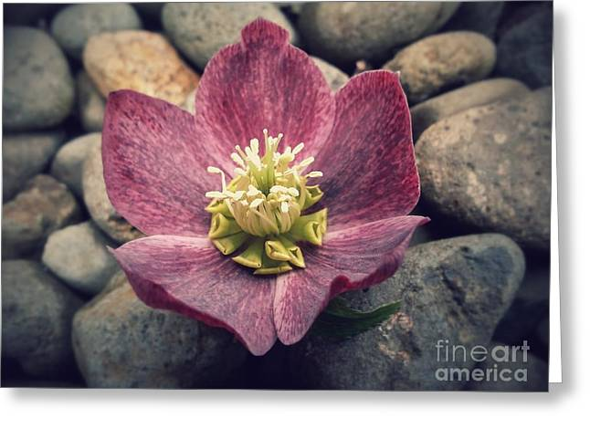 Springy Greeting Cards - Serene Hellebores Greeting Card by Heather L Giltner
