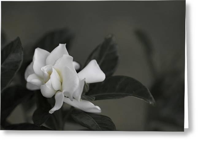 Gardenias Greeting Cards - Serene Greeting Card by Jade Moon
