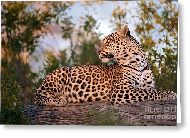 Five Level Greeting Cards - Serene Leopard  Greeting Card by Brendon Cremer