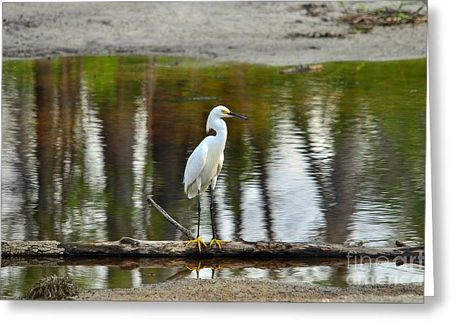 Egretta Thula Greeting Cards - Serene Snowy Greeting Card by Al Powell Photography USA