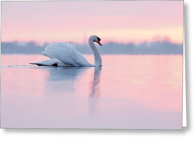 Swan Greeting Cards - Serenity   Mute Swan at Sunset Greeting Card by Roeselien Raimond
