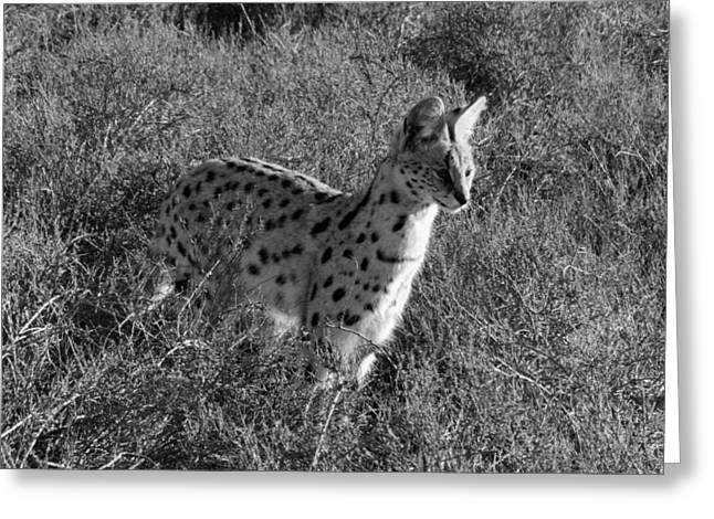 White Serval Greeting Cards - Serval Greeting Card by Chris Whittle