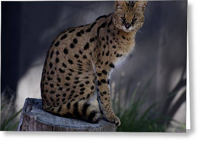 Serval Posing Greeting Card by Graham Palmer