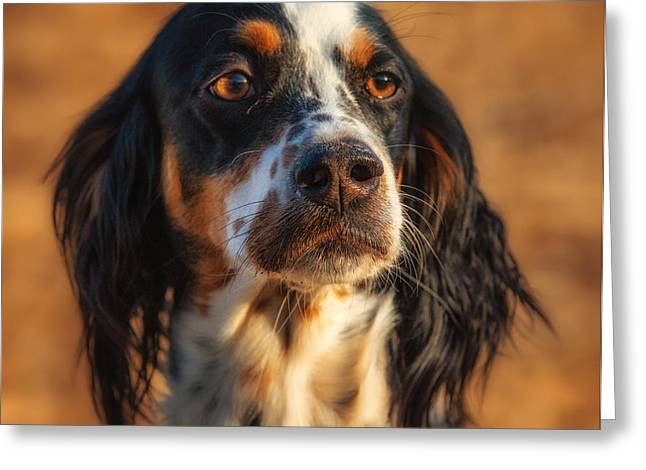 Setter Pointer Greeting Cards - Setter Heaven Greeting Card by Reflections Afield Photography - Steve Hill