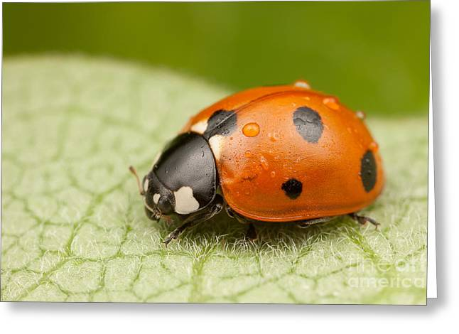 Invertebrates Greeting Cards - Seven-spotted Lady Beetle II Greeting Card by Clarence Holmes