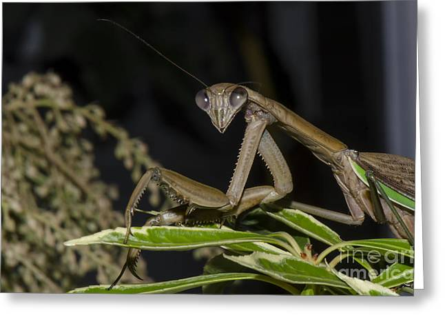Prayingmantis Greeting Cards - Sexy And I Know It Greeting Card by Judy Wolinsky