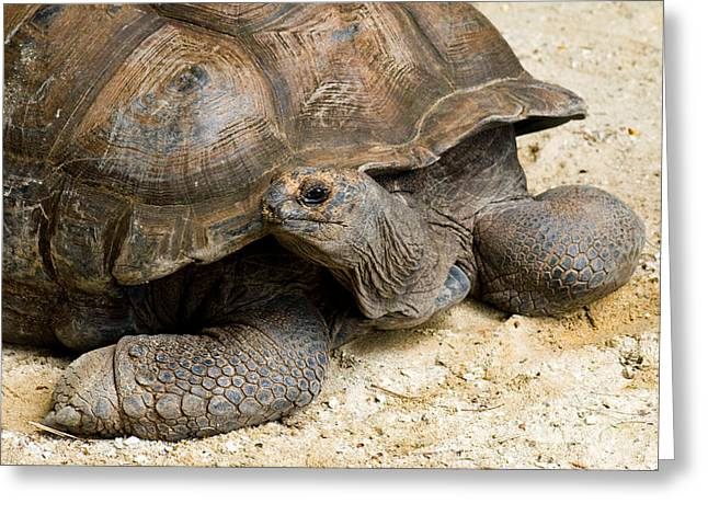 Wildlife In Captivity Greeting Cards - Seychelles Giant Tortoise Extinct Greeting Card by Tim Holt