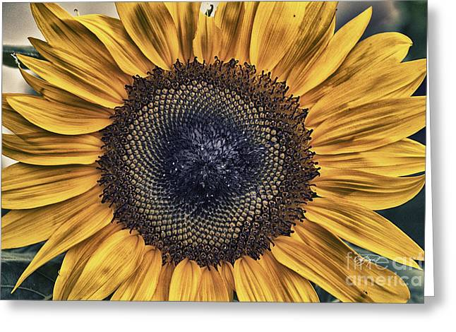 Amen Corner Greeting Cards - Shabby Chic Sunflower Greeting Card by Cris Hayes