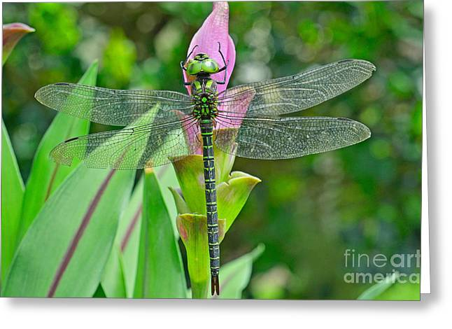 Green Darner Dragonflies Greeting Cards - Shadow Darner Aeshna Umbrosa Greeting Card by John Serrao