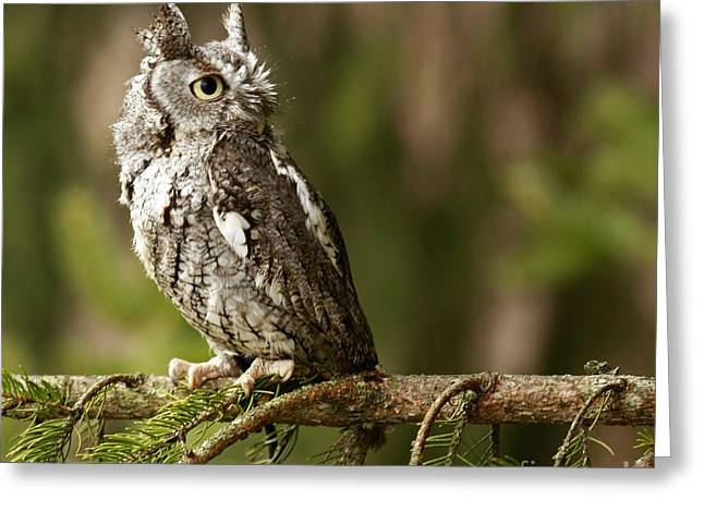 Shelley Myke Greeting Cards - Shadow of the Forest Eastern Screech Owl Greeting Card by Inspired Nature Photography By Shelley Myke