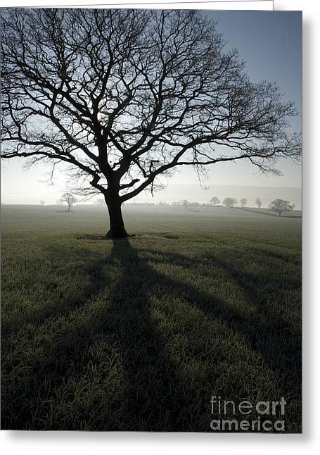 Wintry Photographs Greeting Cards - Shadow Tree Greeting Card by Anne Gilbert
