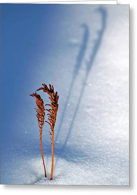 Ostrich Fern Greeting Cards - Shadows in the Snow Greeting Card by Carolyn Derstine