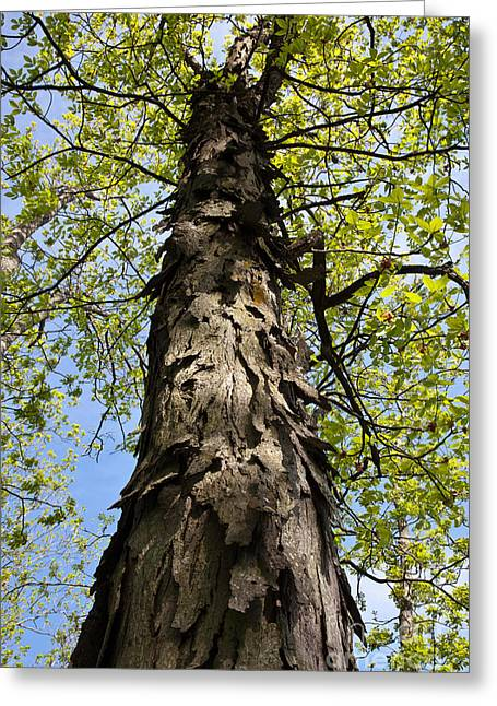 Nut Trees Greeting Cards - Shagbark Hickory Tree Greeting Card by Greg Dimijian