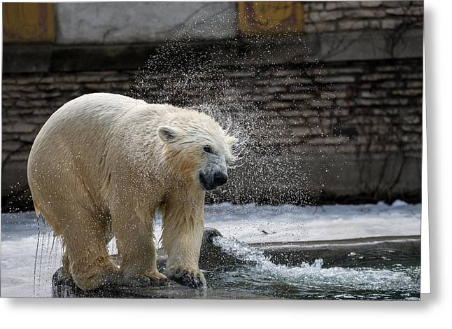 Wildlife In Captivity Greeting Cards - Shake it off Greeting Card by Mark Papke