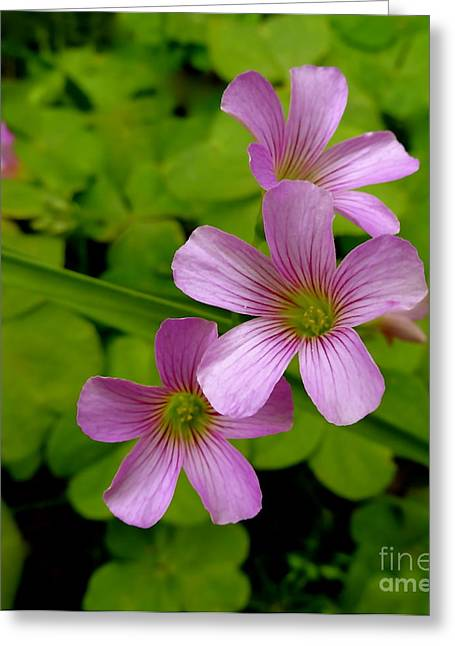 Pinks And Purple Petals Greeting Cards - Shamrock Blooms Greeting Card by Elisa Yinh