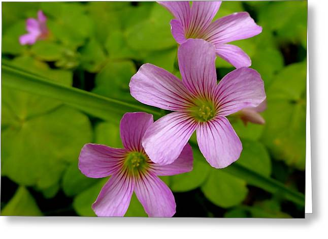 Recently Sold -  - Pinks And Purple Petals Photographs Greeting Cards - Shamrock Blooms Greeting Card by Elisa Yinh