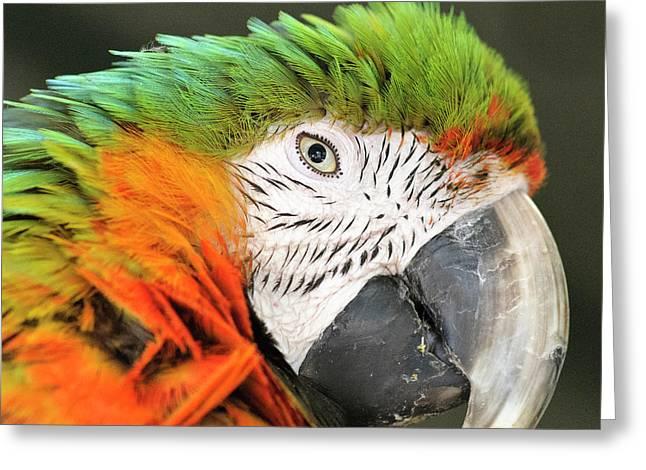 Shamrock Macaw, First Generation Hybrid Greeting Card by Matt Freedman