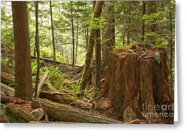 Shannon Greeting Cards - Shannon Falls Rainforest Greeting Card by Adam Jewell