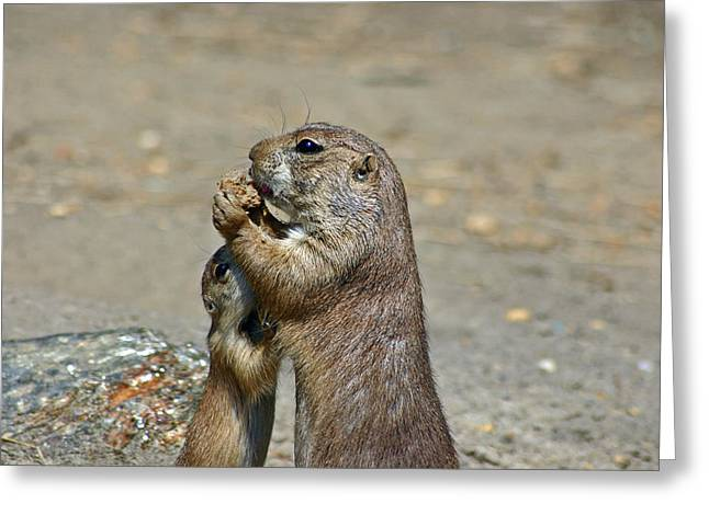 Prairie Dogs Greeting Cards - Sharing Greeting Card by David Rucker