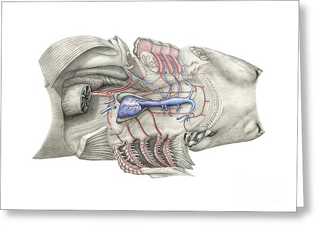 White Shark Greeting Cards - Shark Heart-gill Anatomy, Artwork Greeting Card by D & L Graphics