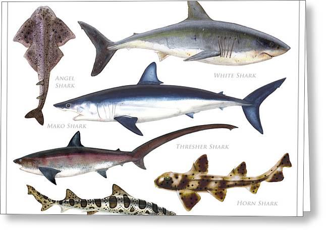Leopard Shark Greeting Cards - Sharks of the United States Greeting Card by Nick Mayer