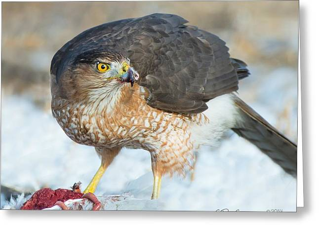Courson Greeting Cards - Sharp-shinned Hawk Greeting Card by CR  Courson