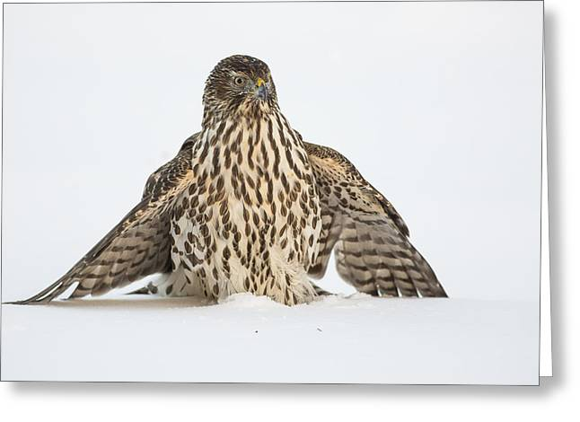 Juvenile Birds Greeting Cards - Sharp shinned Hawk in the Snow Greeting Card by Tim Grams
