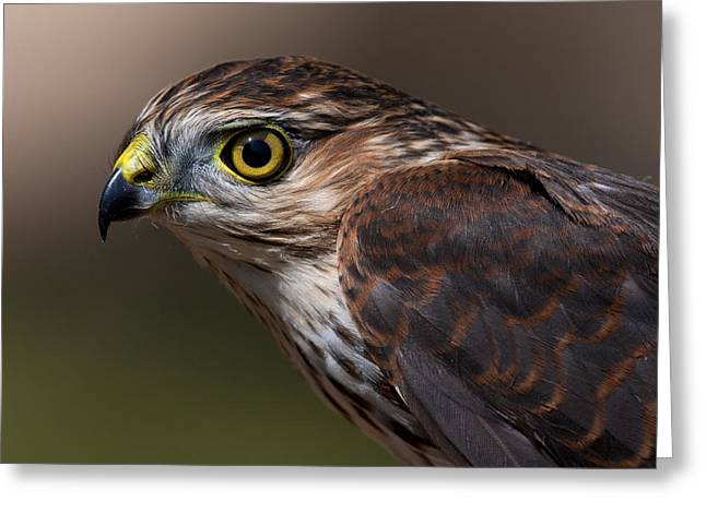 Shinning Greeting Cards - Sharp-shinned Hawk.. Greeting Card by Nina Stavlund