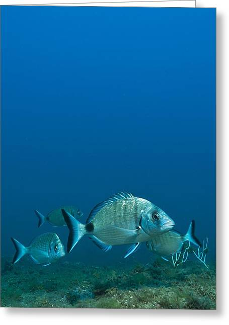 Quartet Greeting Cards - Sharp snout seabream Greeting Card by Science Photo Library