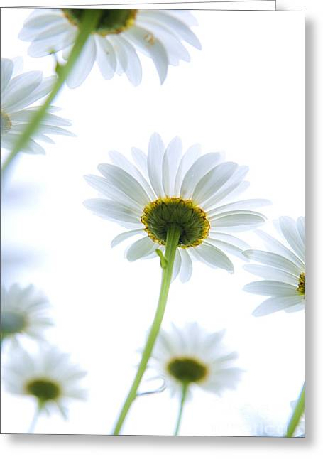 Daisy Greeting Cards - Shasta daisies Greeting Card by Diane Diederich