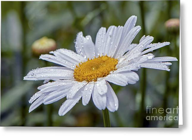 Wet Petals Greeting Cards - Shasta Daisy with Waterdrops Greeting Card by Sharon  Talson