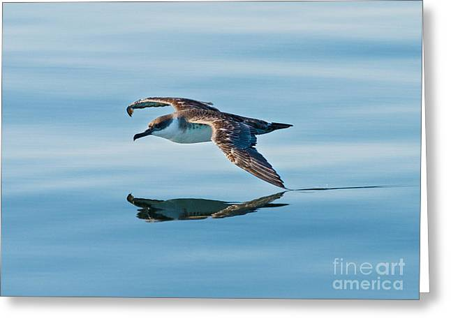 Sea Birds Greeting Cards - Shearing the Water... Greeting Card by Nina Stavlund