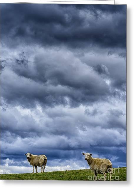 Sheep A Leaden Sky Greeting Card by Thomas R Fletcher