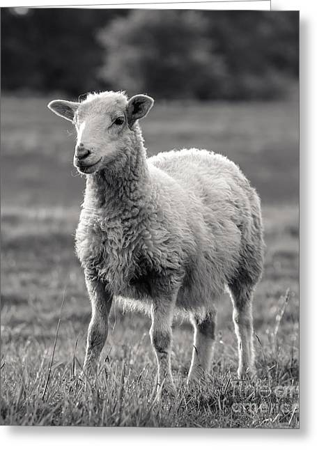 Sheep Art  Greeting Card by Lucid Mood