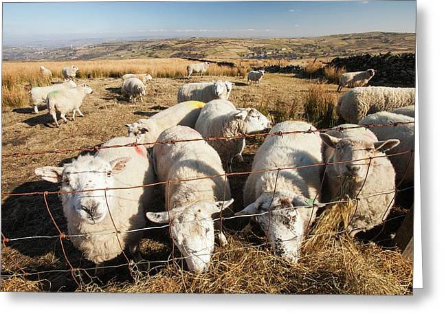 Sheep Feeding On Hay On Ovenden Moor Greeting Card by Ashley Cooper
