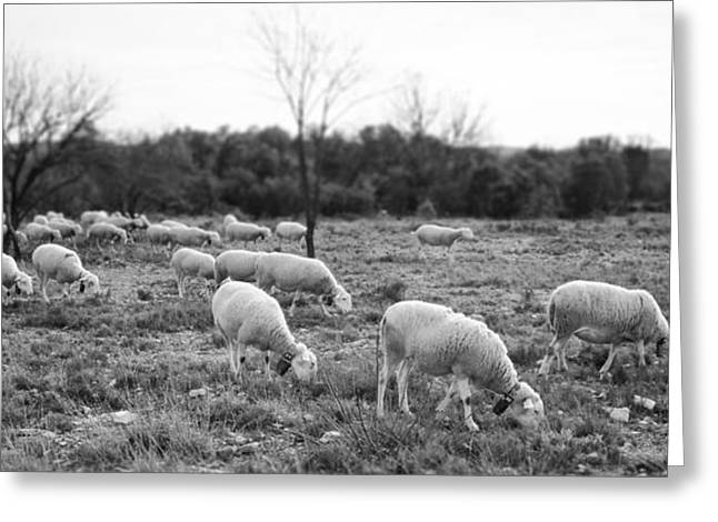 Pic St Loup Photographs Greeting Cards - Sheep Graze Greeting Card by Laurent Fox